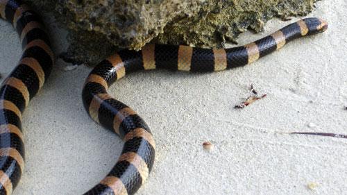 Serpent tricot rayé ile maurice