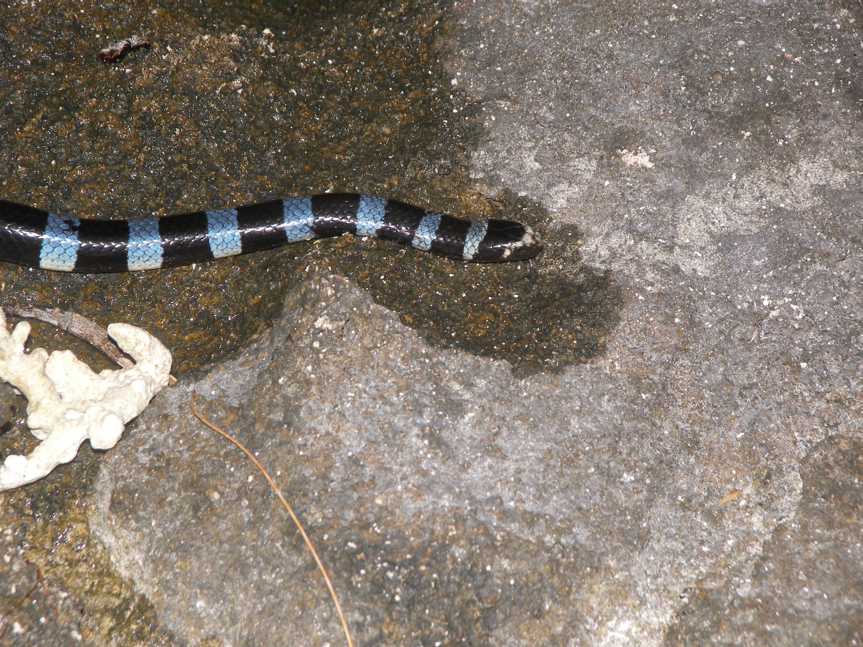 Tricot rayé sea snake