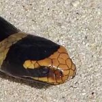 Serpent tricot rayé murène